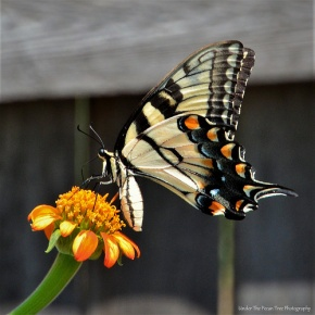 Eastern Tiger Swallowtail Butterfly on Mexican Sunflower I