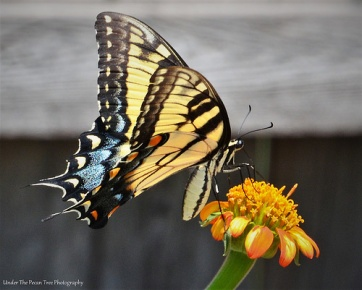Eastern Tiger Swallowtail Butterfly on Mexican Sunflower II