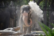 Bathing Indian Elephant at the Fort Worth Zoo I