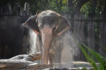 Bathing Indian Elephant at the Fort Worth Zoo II