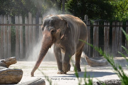 Bathing Indian Elephant at the Fort Worth Zoo III