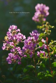 Beautiful Crape Myrtle Blossoms