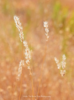 Texas Prairie Grasses (2015)