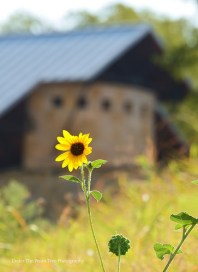 Common Sunflower at the Arbor Hills Nature Preserve in Plano, Texas (August 2015)
