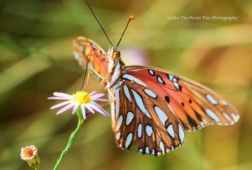 When I tried to capture this aster, a Gulf Fritillary landed right on it. I had to be fast, before it flew away. Unfortunately I cut off a little bit of its antenna.