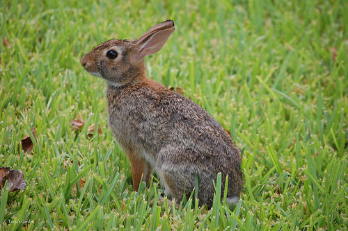 Eastern Cottontail Rabbit in Summer 2011 I