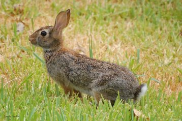 Eastern Cottontail Rabbit in Summer 2011 II