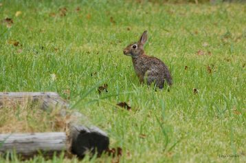 Eastern Cottontail Rabbit in Summer 2011 III