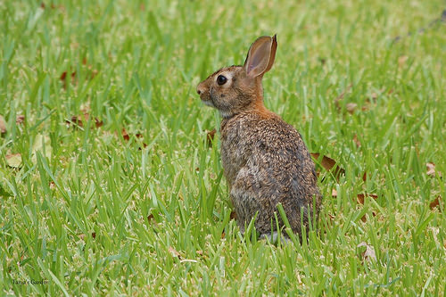 Eastern Cottontail Rabbit in Summer 2011 IV