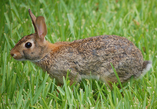 Eastern Cottontail Rabbit in Summer 2011 V