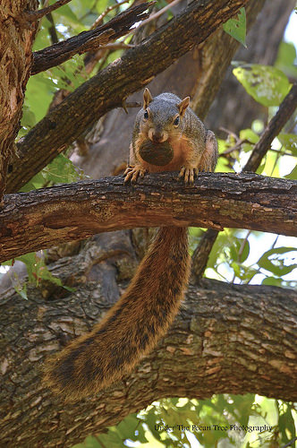 Fox Squirrel with a pecan nut in its mouth