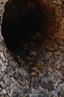 Natural bee hive in an old tree trunk of a pecan tree