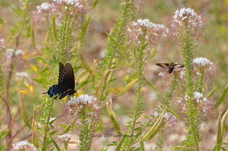 Pipevine Butterfly and Sphinx Moth