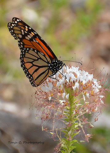Monarch Butterfly on Wild Cleome