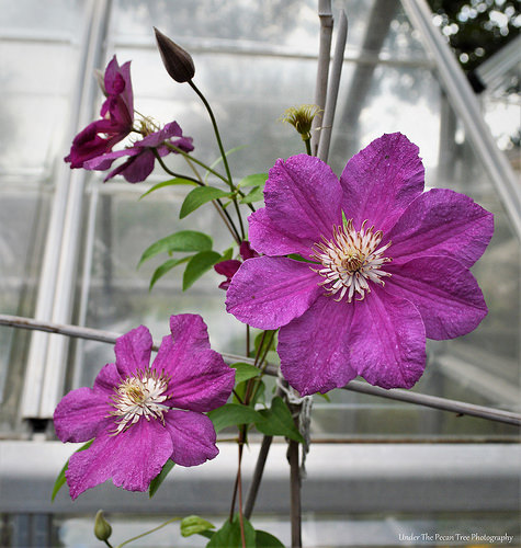 This morning, I counted five clematis blooms on the vine.