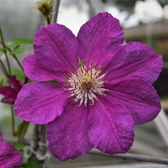 Pretty Clematis Blossom