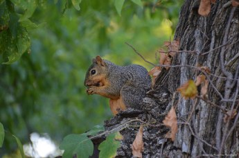 Texas Fox Squirrel munching away