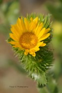 Curly-top Gumweed (Grindelia squarrosa)