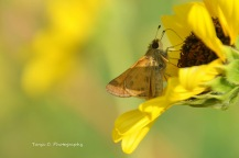 Skipper on Common Sunflower