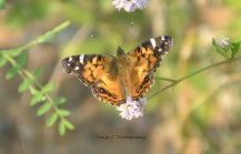Painted Lady (Vanessa cardui) on Smartweed