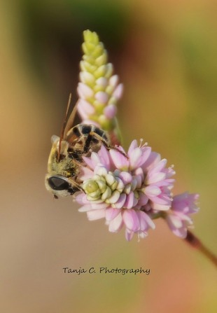 Leaf-cutter Bee on Smartweed/Knotweed