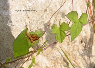 Skipper on bindweed vine