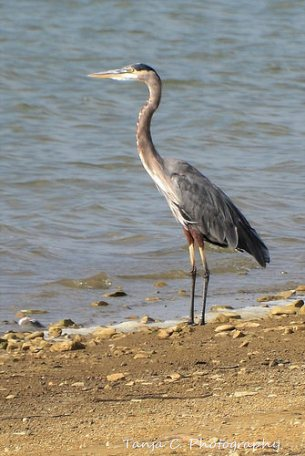 A Great Blue Heron takes a break from fishing in Lewisville Lake.