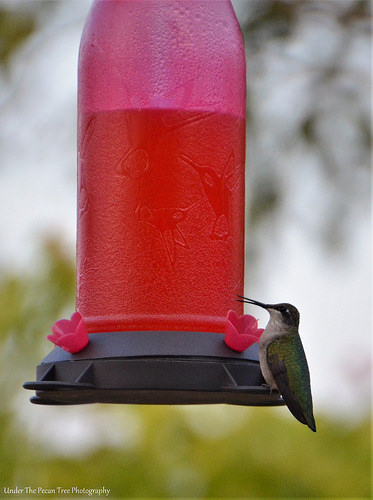 Fresh sugar/water for the hummingbirds
