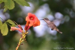 Hummingbirds also need a lot of fresh nectar from native plants to get the energy they need for moving around.