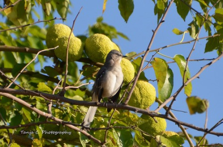 Mockingbird in Hedge Apple tree