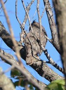 What a great surprise! I walked into a Great Horn Owl on my Nature Trail hike. It blends in so well with the tree branches.