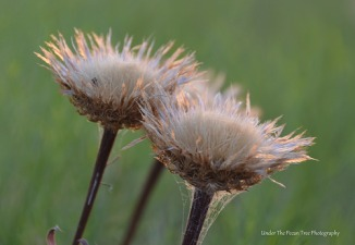 Wilted Texas Thistles in August 2013 (III)