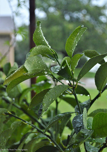 Meyer Lemon Rain Drops