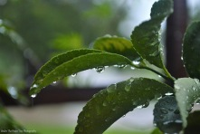 Meyer Lemon Leaf Droplets