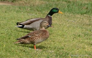 The Mallard couple was relaxing in the sun.