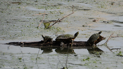 The slider turtles come in all shapes and sizes.