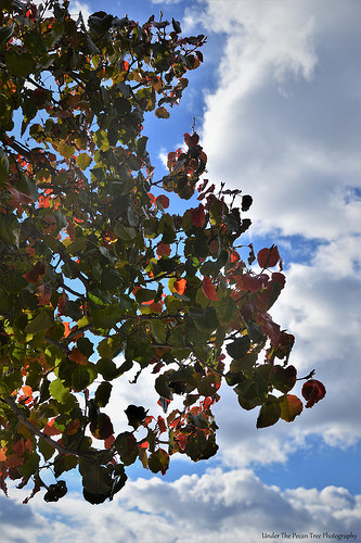 Autumn Bradford Pear Foliage