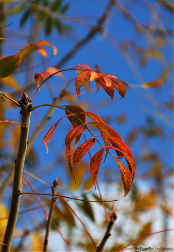 Autumn Sumac Leaves