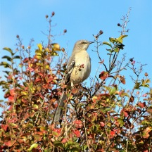 The Mockingbird sings a beautiful song about Autumn.