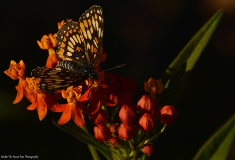 Theona Checkerspot (Chlosyne theona) on Milkweed I
