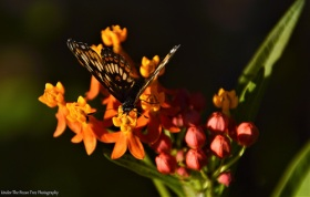 Theona Checkerspot (Chlosyne theona) on Milkweed II