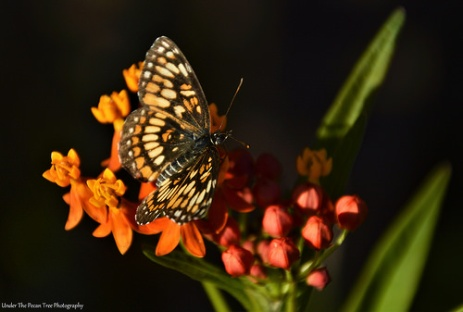 Theona Checkerspot (Chlosyne theona) on Milkweed III