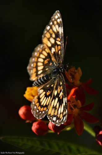 Theona Checkerspot (Chlosyne theona) on Milkweed IV