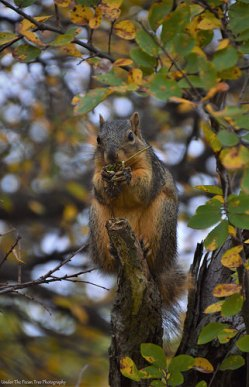 Hungry Foxsquirrel