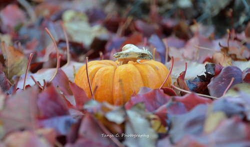 Little Pumpkin is hiding in the Autumn foliage.