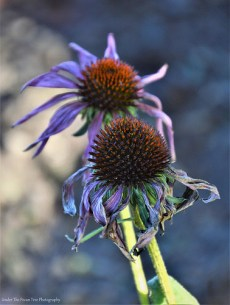 Wilted Purple Coneflowers
