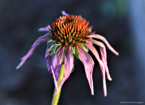 Wilted Purple Coneflower
