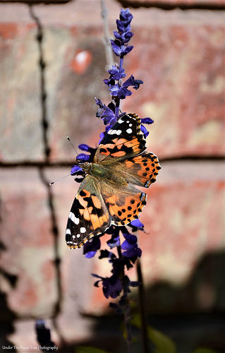 Painted Lady on Mealy Cup Sage