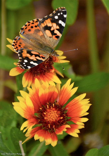 Painted Lady on Indian Blanket/Firewheel