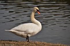 Mute Swan at Josey Ranch Lake